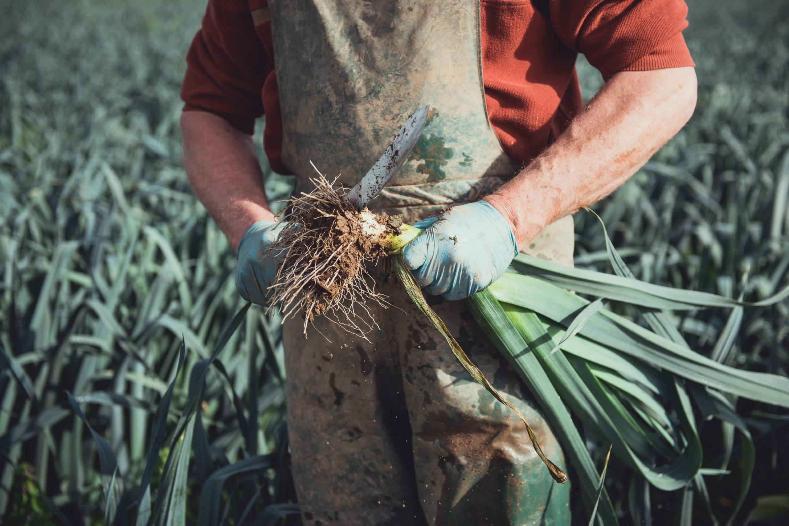 Gavin working in field, snedding leeks